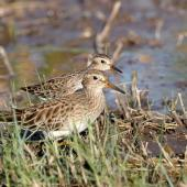 Long-toed stint. Adult in breeding plumage (at rear) with much larger but similar-looking pectoral sandpiper. Tolderol Game Reserve, South Australia, April 2019. Image © Peter Owen 2020 birdlifephotography.org.au by Peter Owen