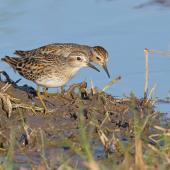 Long-toed stint. Two adults in breeding plumage. Tolderol Game Reserve, South Australia, April 2019. Image © Peter Owen 2019 birdlifephotography.org.au by Peter Owen