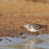 Long-toed stint. Adult in breeding plumage. Carnarvon, Western Australia, April 2020. Image © Les George 2020 birdlifephotography.org.au by Les George