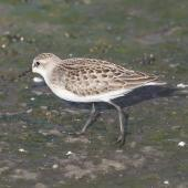 Semipalmated sandpiper. Juvenile. Manhattan,  Kansas,  USA, August 2014. Image © David Rintoul by David Rintoul