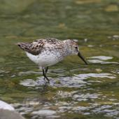 Western sandpiper. Adult. Seward Peninsula, Alaska, June 2009. Image © Craig Steed by Craig Steed