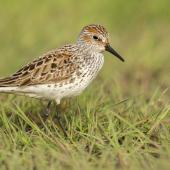 Western sandpiper. Adult in breeding plumage. Victoria, British Columbia, May 2015. Image © Michael Ashbee by Michael Ashbee C/O Michael Ashbee www.mikeashbeephotography.com