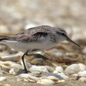Broad-billed sandpiper. Juvenile walking. Manukau Harbour, December 2015. Image © Oscar Thomas by Oscar Thomas https://www.flickr.com/photos/kokakola11/