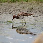 Ruff. Male in breeding plumage. Eempolder, Netherlands. Image © Koos Baars by Koos Baars