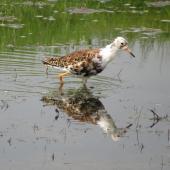 Ruff. Male in breeding plumage. Eempolder, The Netherlands, April 2014. Image © Koos Baars by Koos Baars