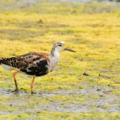 Ruff. Adult male losing breeding plumage. Baie de Somme, France, July 2016. Image © Cyril Vathelet by Cyril Vathelet