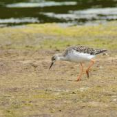 Ruff. Adult in non breeding plumage. Baie de Somme, France, July 2016. Image © Cyril Vathelet by Cyril Vathelet