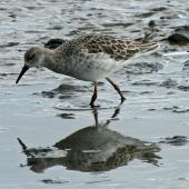 Ruff. Adult non-breeding. Titchwell, United Kingdom, September 2013. Image © Duncan Watson by Duncan Watson
