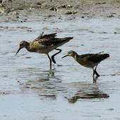 Ruff. Male and female (for size comparison). Titchwell, United Kingdom, September 2013. Image © Duncan Watson by Duncan Watson