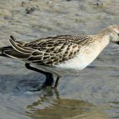 Ruff. Adult non-breeding plumage. Titchwell, United Kingdom, September 2013. Image © Duncan Watson by Duncan Watson