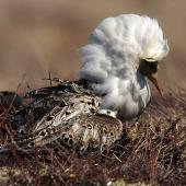 Ruff. Male in breeding plumage displaying. Anadyr, Chukotka, May 2008. Image © Sergey Golubev by Sergey Golubev