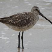 Asiatic dowitcher. Nonbreeding adult. Cairns, Queensland, October 2019. Image © Ray Pierce by Ray Pierce