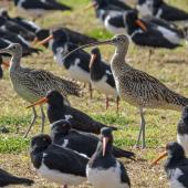 Eastern curlew. Two adults roosting with a flock of South Island pied oystercatchers. Mangere Bridge township foreshore, August 2015. Image © Bruce Buckman by Bruce Buckman https://www.flickr.com/photos/brunonz/