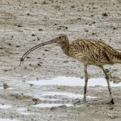 Eastern curlew. Adult with a crab. Cairns foreshore,  Queensland,  Australia, July 2017. Image © Rebecca Bowater by Rebecca Bowater FPSNZ AFIAP www.floraandfauna.co.nz