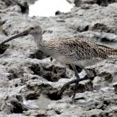 Eastern curlew. Adult. Cairns, September 2010. Image © Dick Porter by Dick Porter