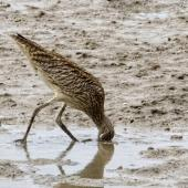 Eastern curlew. Adult feeding. Cairns foreshore,  Queensland,  Australia, July 2017. Image © Rebecca Bowater by Rebecca Bowater FPSNZ AFIAP www.floraandfauna.co.nz