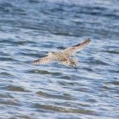 Eastern curlew. In flight, showing rump colour. Lower Hutt, March 2013. Image © Robert Hanbury-Sparrow by Robert Hanbury-Sparrow