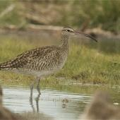 Whimbrel. Adult Asiatic whimbrel. Ashley estuary,  Canterbury, October 2013. Image © Steve Attwood by Steve Attwood http://www.flickr.com/photos/stevex2/