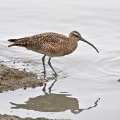 Whimbrel. Adult American whimbrel. San Francisco estuary,  California,  USA, December 2014. Image © Rebecca Bowater by Rebecca Bowater FPSNZ AFIAP www.floraandfauna.co.nz