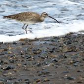 Whimbrel. Adult American whimbrel. Costa Rica, August 2012. Image © Ray Buckmaster by Ray Buckmaster