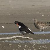 Whimbrel. Adult Asiatic whimbrel with South Island pied oystercatcher. Ashley estuary,  Canterbury, April 2015. Image © Steve Attwood by Steve Attwood  http://www.flickr.com/photos/stevex2/