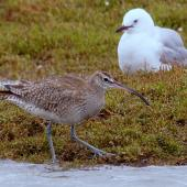 Whimbrel. Adult (foreground) with red-billed gull. Manawatu River estuary, November 2014. Image © Alex Scott by Alex Scott