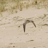 Whimbrel. Adult Asiatic whimbrel in flight. Ngunguru sandspit, Northland, September 2010. Image © Malcolm Pullman by Malcolm Pullman aqualine@igrin.co.nz