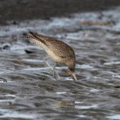 Whimbrel. Adult  Asiatic whimbrel probing for mudcrab. Clive rivermouth, Hawke's Bay, November 2015. Image © Adam Clarke by Adam Clarke