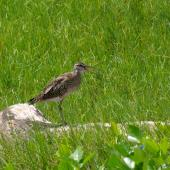 Whimbrel. Non-breeding adult. Mauritius, February 2016. Image © Colin Miskelly by Colin Miskelly