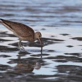 Whimbrel. Adult foraging on mudflat. Clive rivermouth, Hawke's Bay, November 2015. Image © Adam Clarke by Adam Clarke