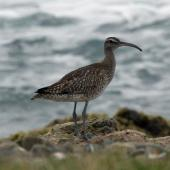 Whimbrel. Asiatic whimbrel on beach. Green Point, November 2013. Image © Duncan Watson by Duncan Watson