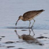 Whimbrel. Adult seizing mudcrab. Clive rivermouth, Hawke's Bay, November 2015. Image © Adam Clarke by Adam Clarke