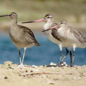 Whimbrel. Adult with 2 bar-tailed godwits. Ngunguru, April 2017. Image © Scott Brooks (ourspot) by Scott Brooks