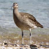 Whimbrel. Adult  Asiatic whimbrel showing the crown stripe. Ngunguru, April 2017. Image © Scott Brooks (ourspot) by Scott Brooks