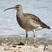 Whimbrel. Adult. Ngunguru, April 2017. Image © Scott Brooks (ourspot) by Scott Brooks