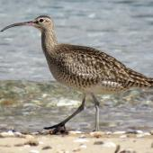 Whimbrel. Adult walking. Ngunguru, April 2017. Image © Scott Brooks (ourspot) by Scott Brooks