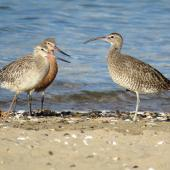 Whimbrel. Adult Asiatic whimbrel (right) with two bar-tailed godwits. Ngunguru, February 2017. Image © Scott Brooks (ourspot) by Scott Brooks