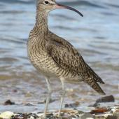 Whimbrel. Adult. Ngunguru, February 2017. Image © Scott Brooks (ourspot) by Scott Brooks