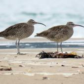 Whimbrel. Adult Asiatic whimbrels. Ngunguru sandspit, February 2019. Image © Scott Brooks (ourspot) by Scott Brooks