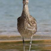 Whimbrel. Adult front on view. Ngunguru sandspit, February 2020. Image © Scott Brooks (ourspot) by Scott Brooks