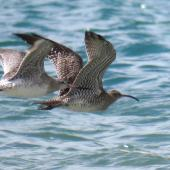 Whimbrel. Asiatic whimbrel in flight (right) with bar-tailed godwit. Ngunguru sandspit, February 2018. Image © Scott Brooks (ourspot) by Scott Brooks