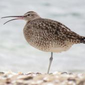 Whimbrel. Adult displaying rhynchokinesis (flexure of the upper beak). Ngunguru, March 2017. Image © Scott Brooks (ourspot) by Scott Brooks