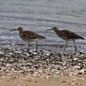 Whimbrel. Two adults. Ngunguru, Te Maika sandspit, January 2016. Image © Jan Doak by Jan Doak