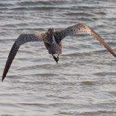 Whimbrel. Asiatic whimbrel in flight, showing back pale back above barred rump. Yalu Jiang National Nature Reserve, China, April 2010. Image © Phil Battley by Phil Battley