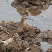 Little whimbrel. Adult. Jiangsu Province, China, April 2014. Image © David Melville by David Melville
