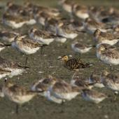Little whimbrel. Roosting with bar-tailed godwits. Miranda, January 2018. Image © Oscar Thomas by Oscar Thomas