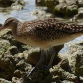 Bristle-thighed curlew. Adult. Ahnd Atoll, Pohnpei, Federated States of Micronesia, June 2013. Image © Glenn McKinlay by Glenn McKinlay