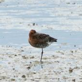 Black-tailed godwit. Adult in breeding plumage sleeping. Miranda, March 2012. Image © Ray Buckmaster by Ray Buckmaster