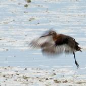 Black-tailed godwit. Adult in breeding plumage taking off. Miranda, March 2012. Image © Ray Buckmaster by Ray Buckmaster