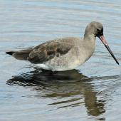 Black-tailed godwit. Adult in winter plumage (one of the western subspecies). Titchwell, United Kingdom, September 2013. Image © Duncan Watson by Duncan Watson